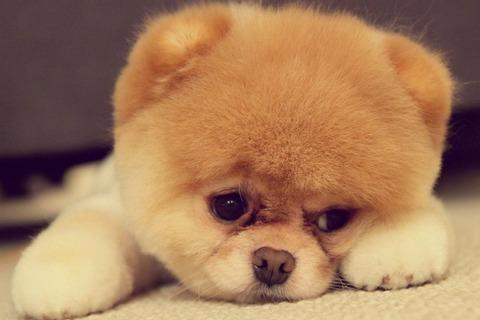 悲しい顔子犬犬動物ポスター-シルク生地プリント画像24-36-インチ