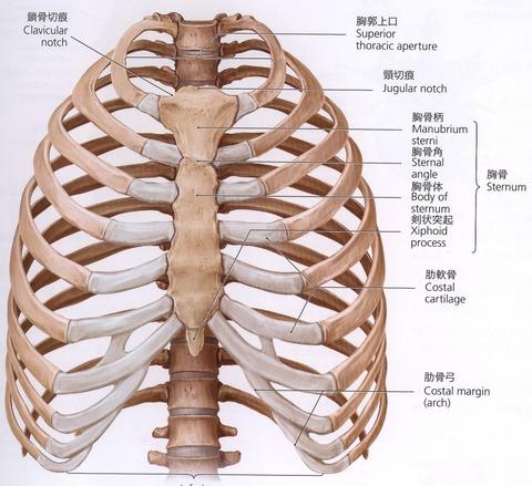 胸骨-1024x937