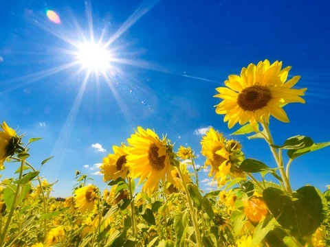 sunflowers01